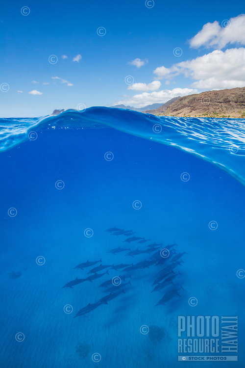 A pod of spinner dolphins traverse the bottom of the ocean, Electric Beach near Kahe Point, West O'ahu