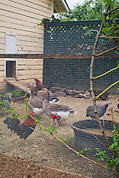 Hen house chicken coop with mixed types of poultry fowl birds: ducks, chickens, roosters, guineafowl, farm animals, cage fencing for protection, goose, geese