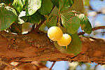 Israel, the Lower Galilee. The fruit of a Styrax tree (Styrax Officinalis) in Yodfat