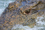 Nile crocodile close-up, Crocodylus niloticus, Kruger National Park, South Africa