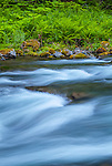 Olympic National Park, Washington<br /> Sol Duc river rapids along a bank of ferns and mossy rocks near Sol Duc falls