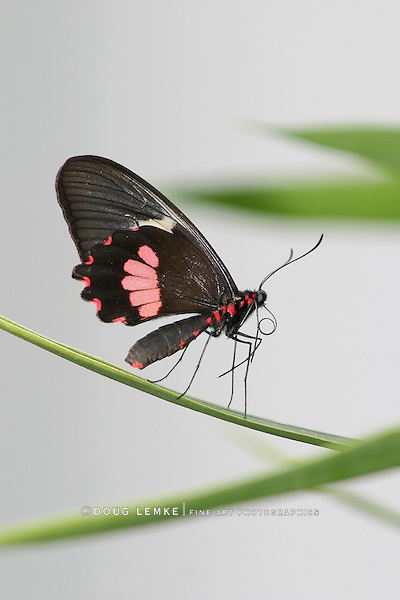 Butterfly, Transandean Cattleheart, Parides iphidamas, Cleaning Itself On A Leaf