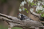 Male downy woodpecker in spring
