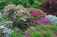 ORPTC_D137 - USA, Oregon, Portland, Crystal Springs Rhododendron Garden, Colorful azaleas and rhododendrons in spring bloom.