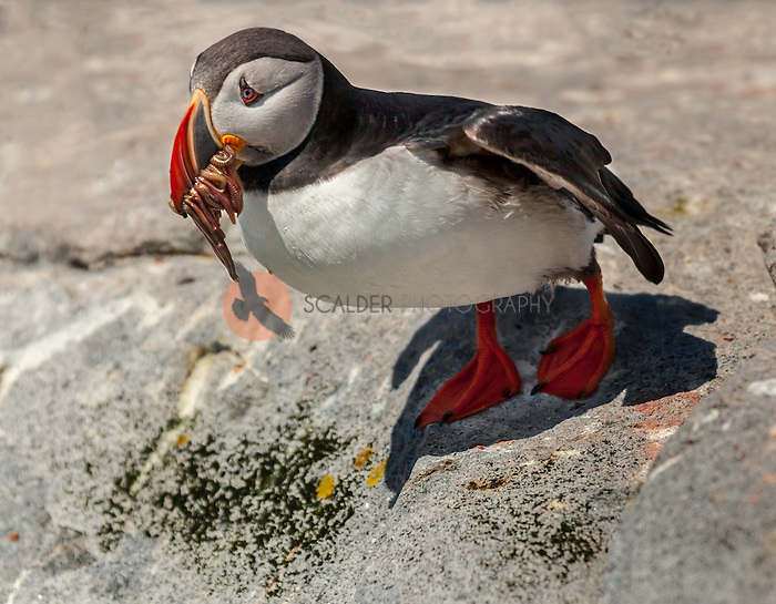 Atlantic Puffin perched on rock after flying in from ocean to feed young with a mouthful of crustaceans and fish