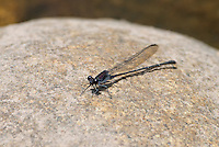 338680005 a wild male tezpi dancer argia tezpi perches on a rock in a small stream in sabino canyon pinal county arizona