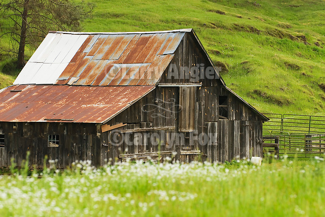Old wooden barn with rusting corrugated roof, spring in the Sierra Nevada Foothills of Calif.