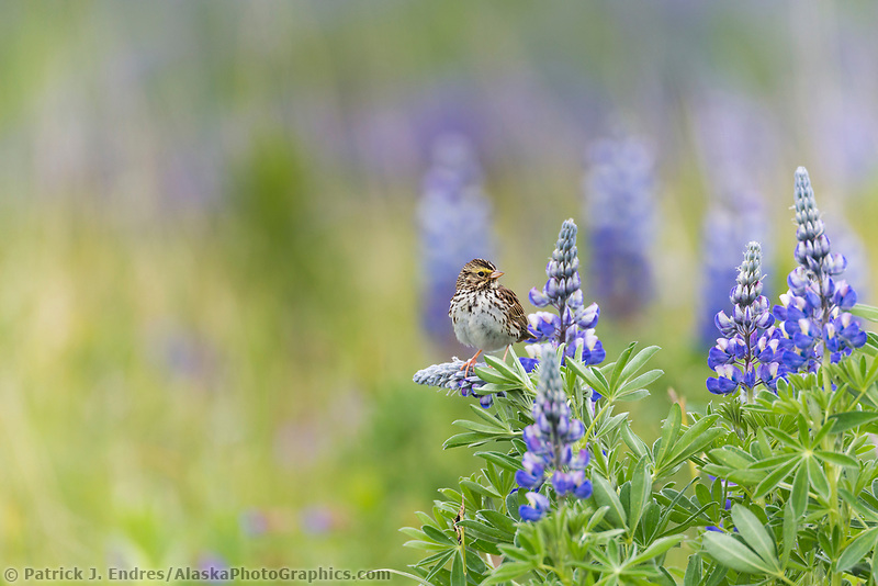 Savannah sparrow perches on a lupine blossom in a field of wildflowers in Katmai National Park, Alaska Peninsula, southwest Alaska.