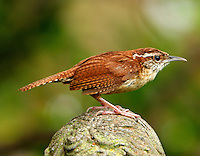 Adult Carolina wren