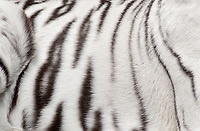 684100006 stripe pattern of a white tiger panthera tigris a wildlife rescue at a wildlife rescue and care facility in southern california united states