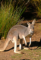 Red Kangaroo at Healesville Zoo in Australia