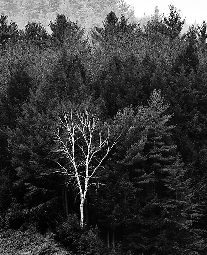 A single white birch surrounded by evergreens on the shore of Quabbin Reservoir.