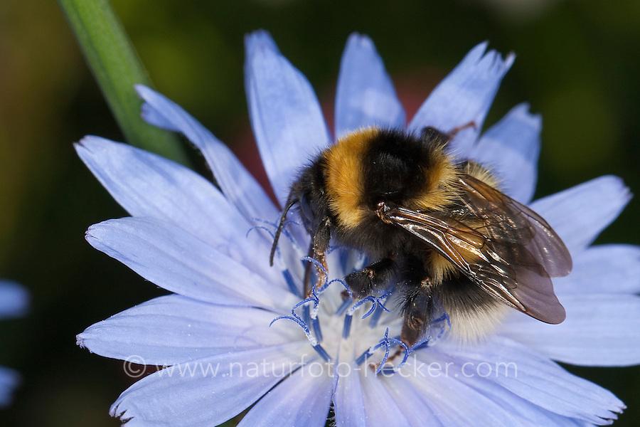 Gartenhummel, Garten-Hummel, Bombus hortorum, Megabombus hortorum, beim Blütenbesuch auf Wegwarte, Nektarsuche, Bestäubung, small garden bumble bee