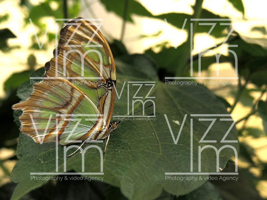 BOGOTÁ-COLOMBIA-15-01-2013. Mariposa Siproeta Stellenes, también llamada mariposa Malaquita. Butterfly Siproeta Stellenes, or butterfly Malaquita. (Photo:VizzorImage)