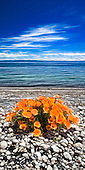 A long way from home these Californian poppies add a splash of colour to the pumice beach at Waitahanui on the eastern edge of Lake Taupo.<br /> This New Zealand Fine Art Landscape Print, available in four sizes on either archival Hahnemuhle Fine Art Pearl paper or canvas, is printed using Epson K3 Ultrachrome inks and comes with a lifetime guarantee against fading.<br /> All prints are signed and numbered on the lower margin and come with my 100% money back guarantee on the purchase price, should you not be  completely happy with the quality of the delivered print or canvas.