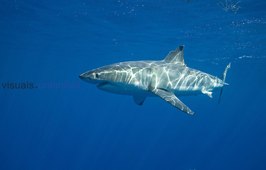 White shark, (Carcharodon carcharias), Guadalupe Island, Baja California, Mexico