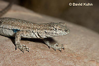 0613-1003  Side-blotched Lizard, Uta stansburiana (syn. Uta antiqua or Uta stellata)  © David Kuhn/Dwight Kuhn Photography