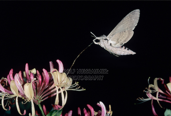 Convolvulus Hawk-Moth, Agrius convolvuli, adult at night drinking out of Honeysuckle (Lonicera sp.) blossom, Oberaegeri, Switzerland, Europe