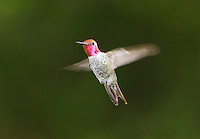 Male Anna's hummingbird, Calypte anna. Santa Cruz Mountains, California