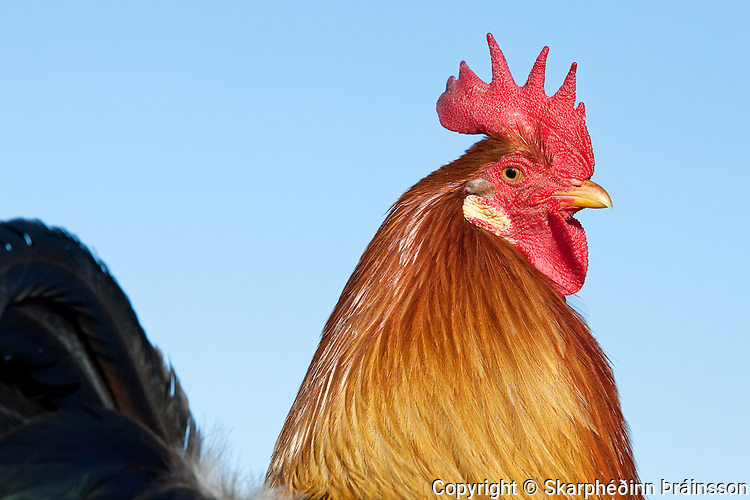 Icelandic Rooster