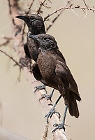 This pair of Sooty chats was hanging out near the road on the way down to the crater floor.