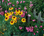 Provincetown, Cape Cod, MA <br /> A mix of summer flowers including roses and cone flowers climb along a weathered picket fence