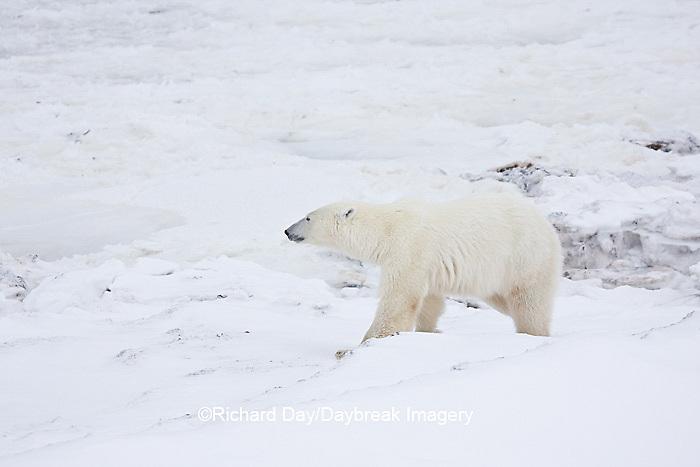 01874-11514 Polar Bear (Ursus maritimus)  walking Churchill Wildlife Management Area MB
