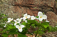 Large-flowered or common white trillium Trillium grandiflorum<br /> Rosseau<br /> Ontario<br /> Canada