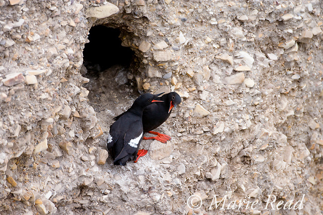 Pigeon Guillemots (Cepphus columba), pair interacting outside nest hole in a cliff, Montana De Oro State Park, California, USA