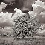 Prairie Oak