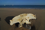 hammerhead shark head on beach at Los Frailes