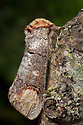 Buff-tip Moth (Phalera bucephala) Dorset, UK. August.