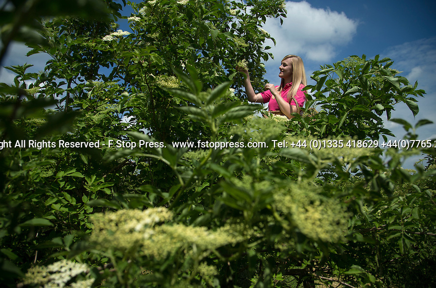16/06/15<br /> <br /> Hannah Nichols-Pearce (23) starts the elderflower harvest at Belvoir Fruit Farms, Leicestershire.  Unusually cool nights in the Midlands have caused the harvest to be three weeks late and it's now a fight against time to bring in the blossoms.  The appeal of elderflower cordial has seen Belvoir's sales increase by 20 percent in the last year and the need for the family run business to invest in a £4.5m state of the art factory to keep up with demand.<br /> <br /> <br /> All Rights Reserved - F Stop Press.  www.fstoppress.com. Tel: +44 (0)1335 418629 +44(0)7765 242650