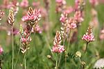 Sainfoin Flower, Onobrychis viciifolia, Darland Banks, Kent UK, perennial of calcareous grasslands, pea family, a legume, clover