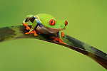 Red-eyed tree frog on bromeliad leaf