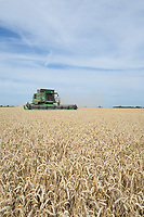 Harvesting Spring Wheat in South Lincolnshire<br /> Picture Tim Scrivener 07850 303986<br /> &hellip;.covering agriculture in the UK&hellip;.