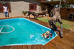 Domestic Dog (Canis familiaris) trio playing in pool with farmer and conservationist, Nikki Gibbs, watching, Memorial View Farm, South Africa