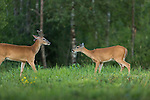 White-tailed buck and doe