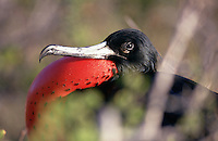 A Great Frigatebird puts on a display by puffing out its brilliant red chest. As with all birds and animals on the Galapagos, the proximity of a human does not alarm it.