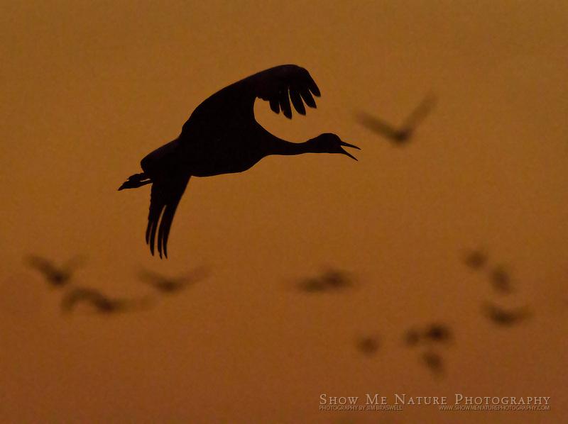 Sandhill Crane landing, silhouette