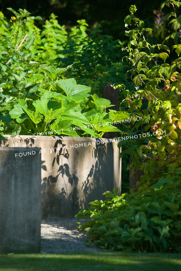 squash, tomoatoes, basil, raspberries, and other edibles fill this unusual concrete, raised vegetable bed in a residential garden near Seattle