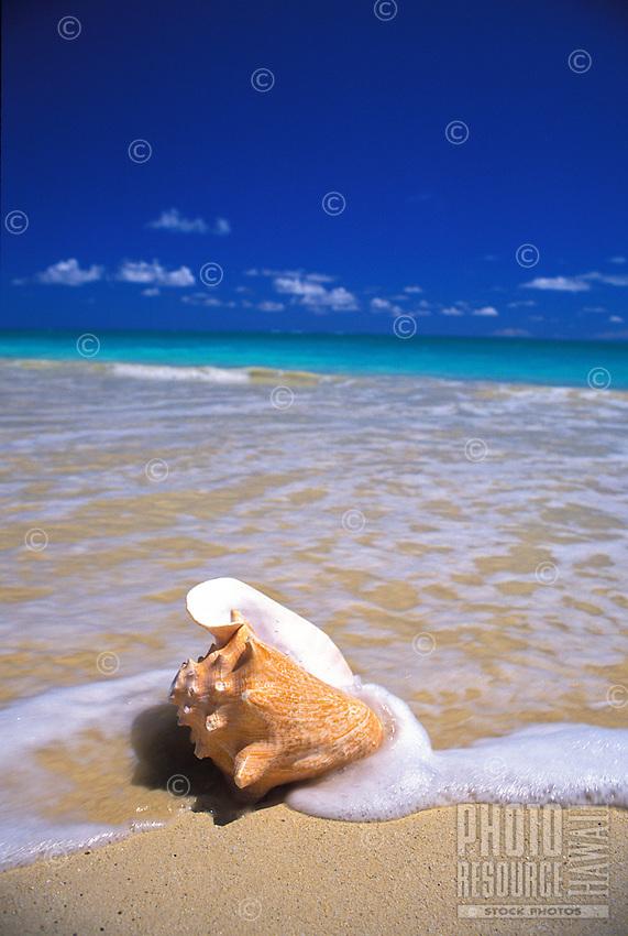 Conch shell rests genlty on an Hawaiian Beach.