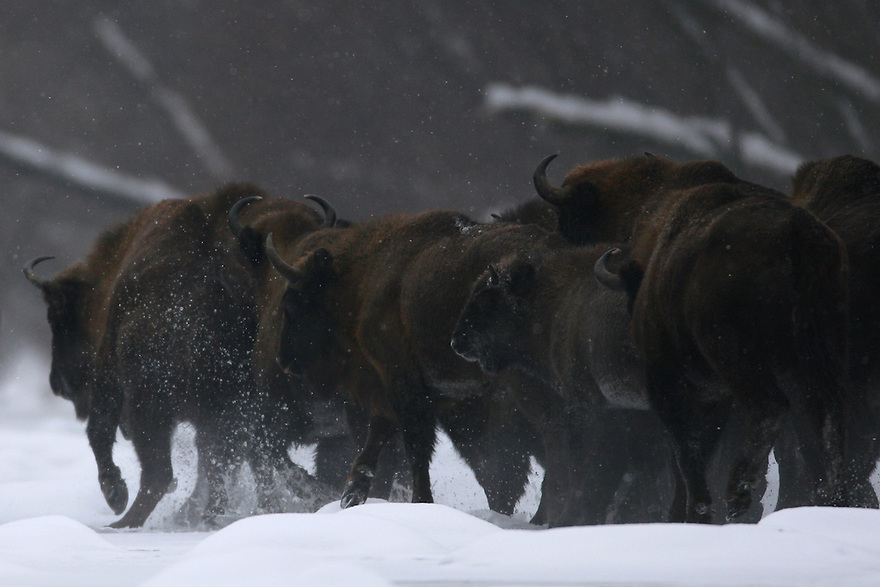 Group of Wisent (Bison bonasus) passing the Sun River in Bieszczady Mountains. Poland