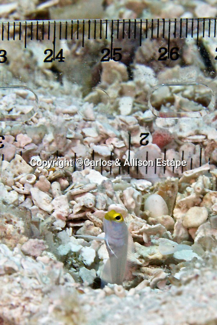 Opistognathus aurifrons, Yellowhead jawfish, juvenile, Florida Keys