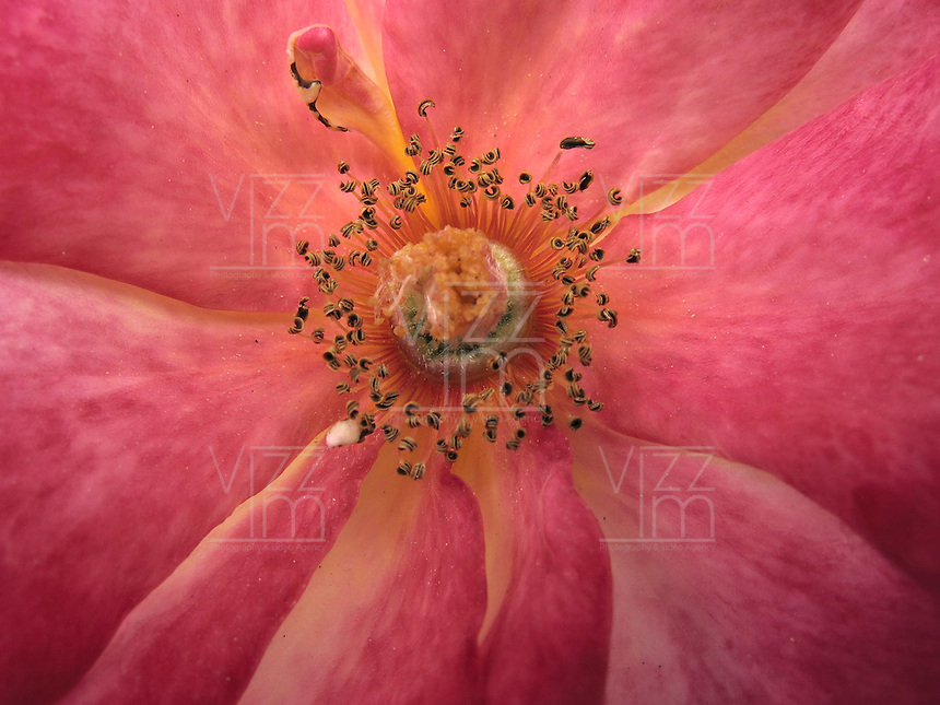 BOGOTÁ-COLOMBIA-15-01-2013. Rosa fucsia Nostalgie, Primer plano del polen de la rosa. Rose Fuchsia Nostalgie, Close-up pollen of the rose.  (Photo:VizzorImage)