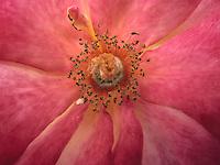 BOGOTÁ-COLOMBIA-15-01-2013. Rosa fucsia Nostalgie, Primer plano del polen de la rosa. Rose Fuchsia Nostalgie, Close-up pollen of the rose.  (Photo:VizzorImage)