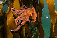 WP79623-D. Common Octopus (Octopus vulgaris) crawling on kelp. South Africa, Indian Ocean.<br /> Photo Copyright © Brandon Cole. All rights reserved worldwide.  www.brandoncole.com