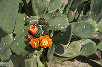 AJ Alexander - Prickly pear species in Scottsdale Arizona..Photo by AJ Alexander