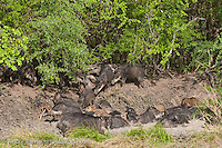 White-lipped Peccaries (Tayassu pecari) taking a mud bath at noon, tropical dry forest during dry season, Kaa-Iya del Gran Chaco National Park, Santa Cruz, Bolivia.