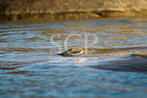 Pará State, Brazil. Xingu River; caiman swimming in the river.
